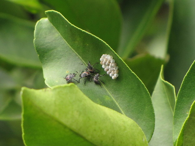 カネムシの初齢(1齢)幼虫 名前は不明