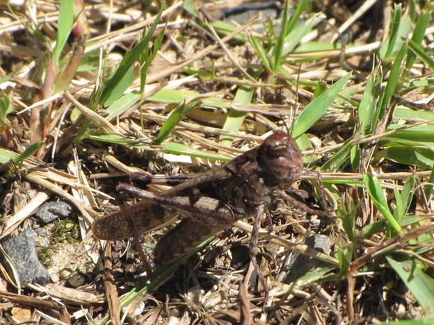 トノサマバッタの褐色型