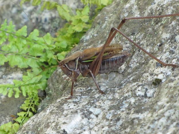 ヒガシキリギリス(キリギリス科)