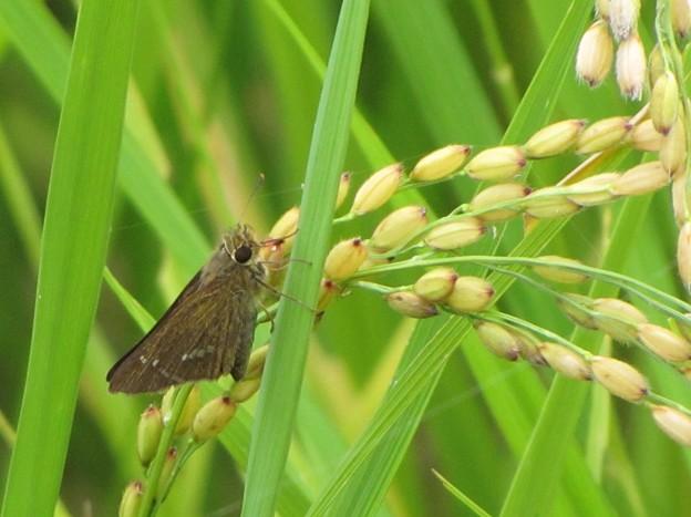 イチモンジセセリ(セセリチョウ科)