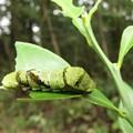 ハゲハの終齢幼虫(5齢)別名ナミアゲハ