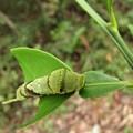 アゲハの終齢幼虫(5齢)別名ナミアゲハ