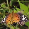 写真: ツマグロヒョウモンのメス(タテハチョウ科)
