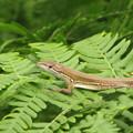 写真: カナヘビ(カナヘビ科)