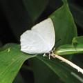 写真: ウラギンシジミ(シジミチョウ科・ウラギンシジミ属)