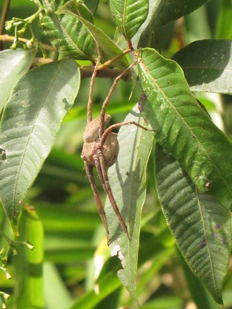 【1】イオウイロハシリグモのメス(キシダグモ科)