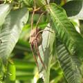 写真: 【1】イオウイロハシリグモのメス(キシダグモ科)