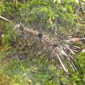 写真: 【2】ヨツボシホソバの幼虫