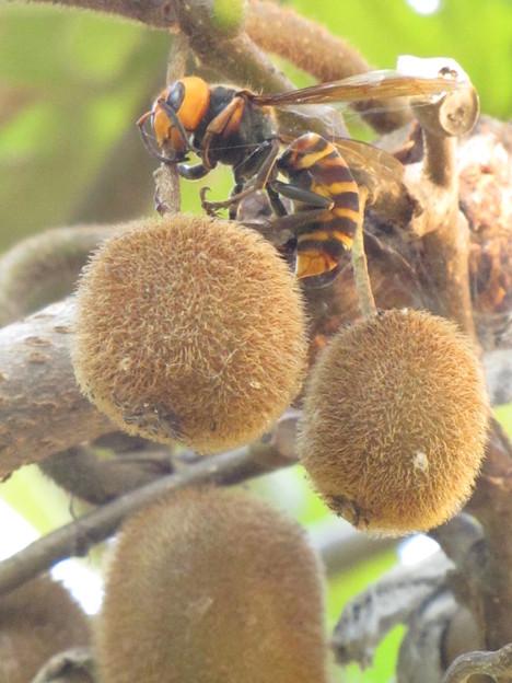オオスズメバチ(スズメバチ科)