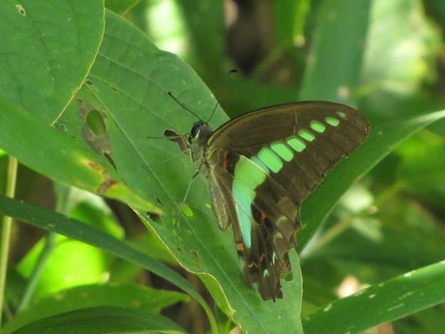アオスジアゲハのメス 夏型(アゲハチョウ科)