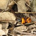 【1】オオスズメバチの戦い