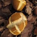 写真: キクバナイグチ(オニイグチ科・キクバナイグチ属)