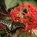 写真: アゲハ(アゲハチョウ科)別名ナミアゲハ