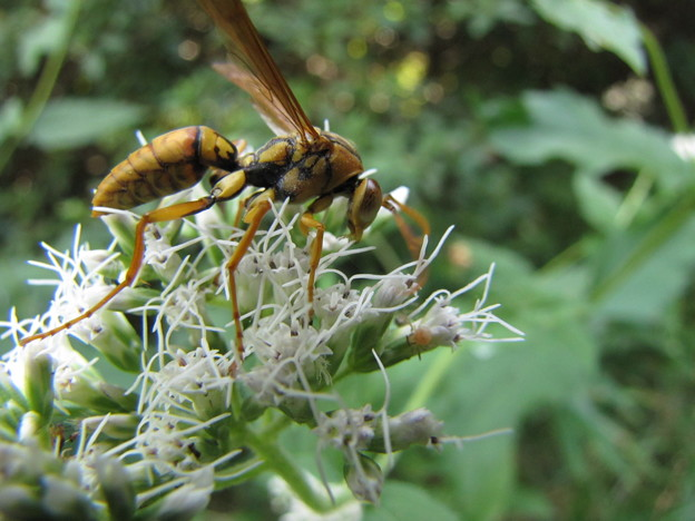 キイロスズメバチ(スズメバチ科)