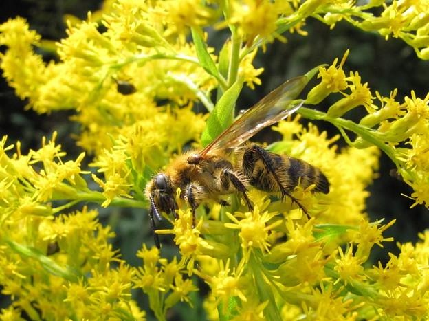 キンケハラナガツチバチのメス(ツチバチ科)