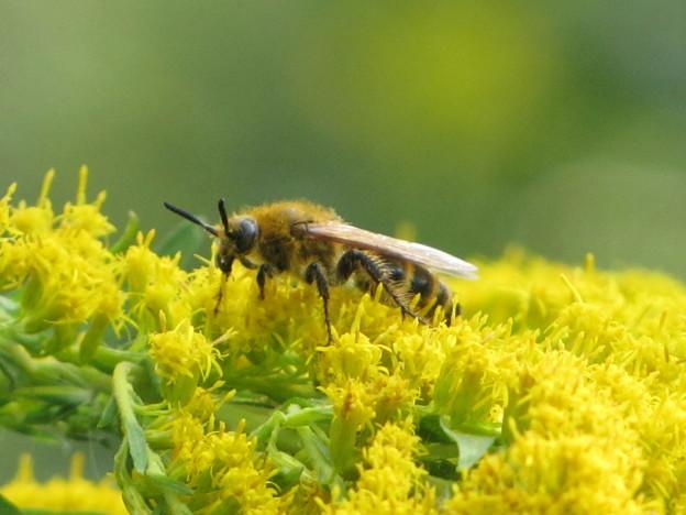 キンケハラナガツチバチ(ツチバチ科)