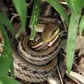 【5】シマヘビ