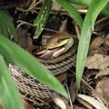 【6】シマヘビ