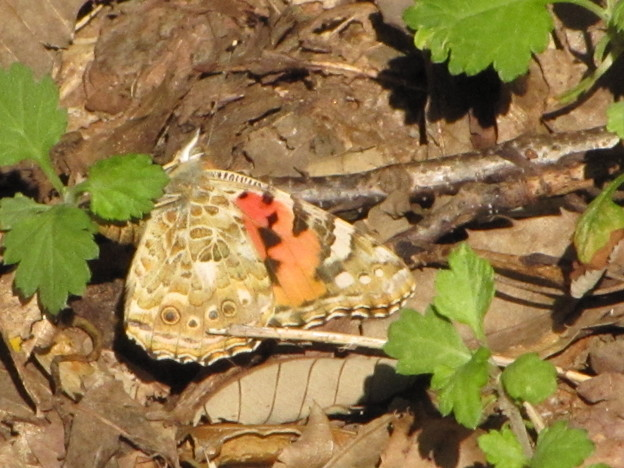 【1】ヒメアカタテハの産卵(タテハチョウ科)