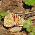 写真: 【1】ヒメアカタテハの産卵(タテハチョウ科)