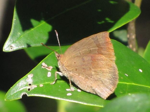 ムラサキシジミ(シジミチョウ科)