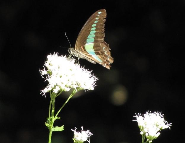 アオスジアゲハ(アゲハチョウ科)