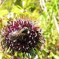 クロマルハナバチの働き蜂(ミツバチ科)