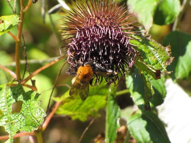トラマルハナバチの働き蜂(ミツバチ科)