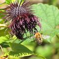 写真: トラマルハナバチの働き蜂(ミツバチ科)