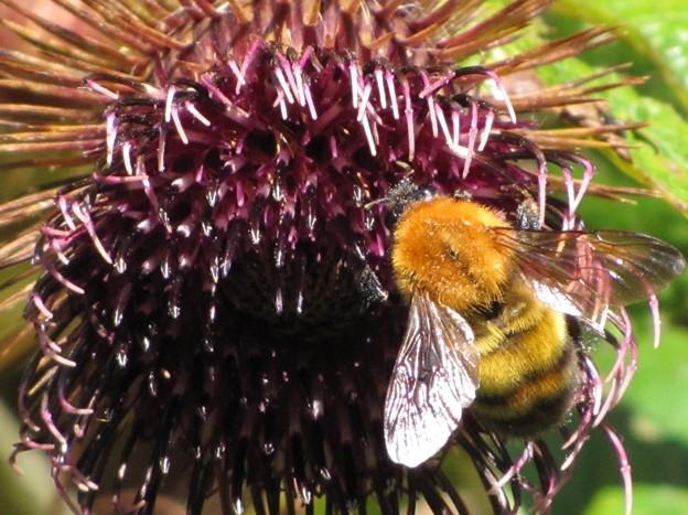 トラマルハナバチ(ミツバチ科)