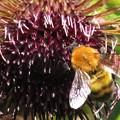 写真: トラマルハナバチ(ミツバチ科)