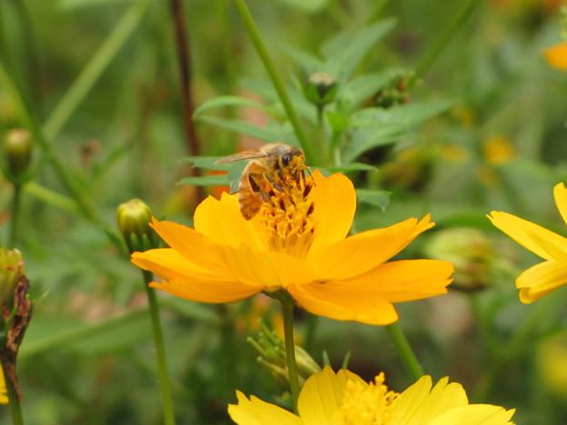 セイヨウミツバチ(ミツバチ科)