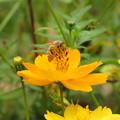 写真: セイヨウミツバチ(ミツバチ科)