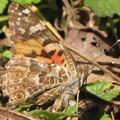 【1】ヒメアカタテハの産卵