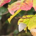 写真: ウラギンシジミの越冬