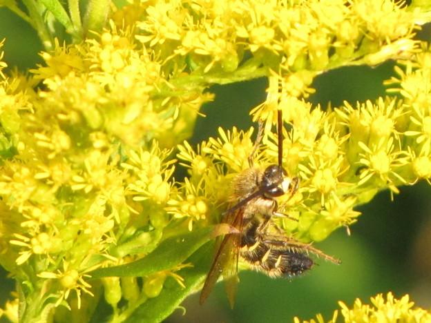 【2】キンケハラナガツチバチのオス(ツチバチ科)