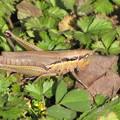 コバネイナゴの褐色型(イナゴ科)