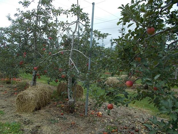 写真: りんご園