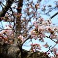 姫路城の桜