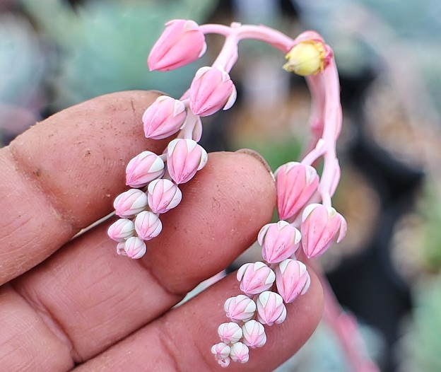 ブルーバードの花