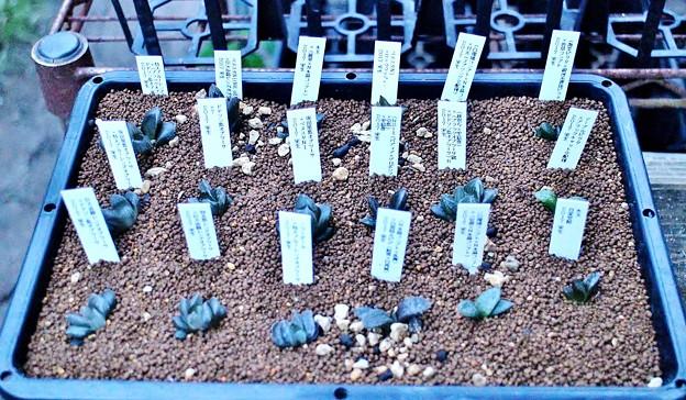 ハオ実生苗18種