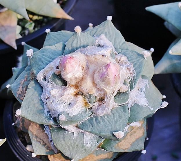 青磁牡丹×ロゼオ牡丹