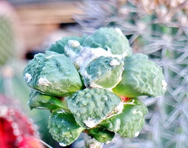 カリフラワー花牡丹交配苗