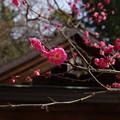 梅の咲く頃