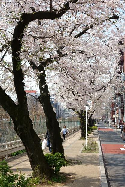お爺ちゃん、お婆ちゃんの街の桜