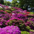 Photos: 中咲きが満開でしょうか