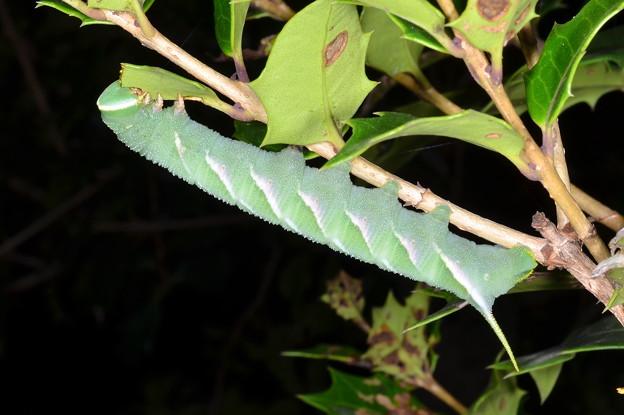サザナミスズメの幼虫1