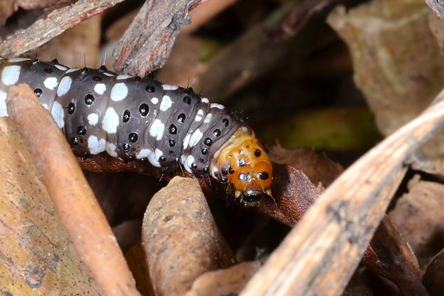 ハマオモトヨトウの幼虫3