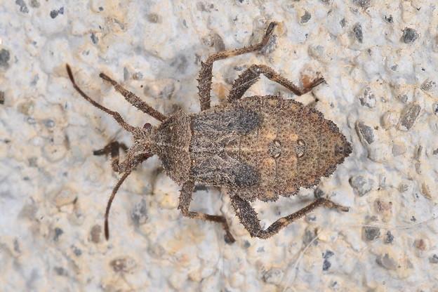 ホオズキカメムシの幼虫