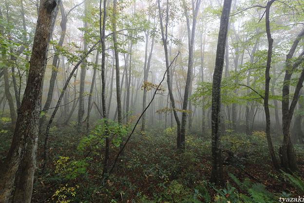 霧のブナ林1